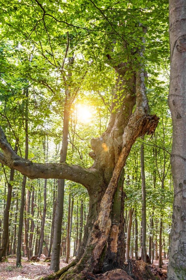 Árvore mágica na floresta fotografia de stock royalty free