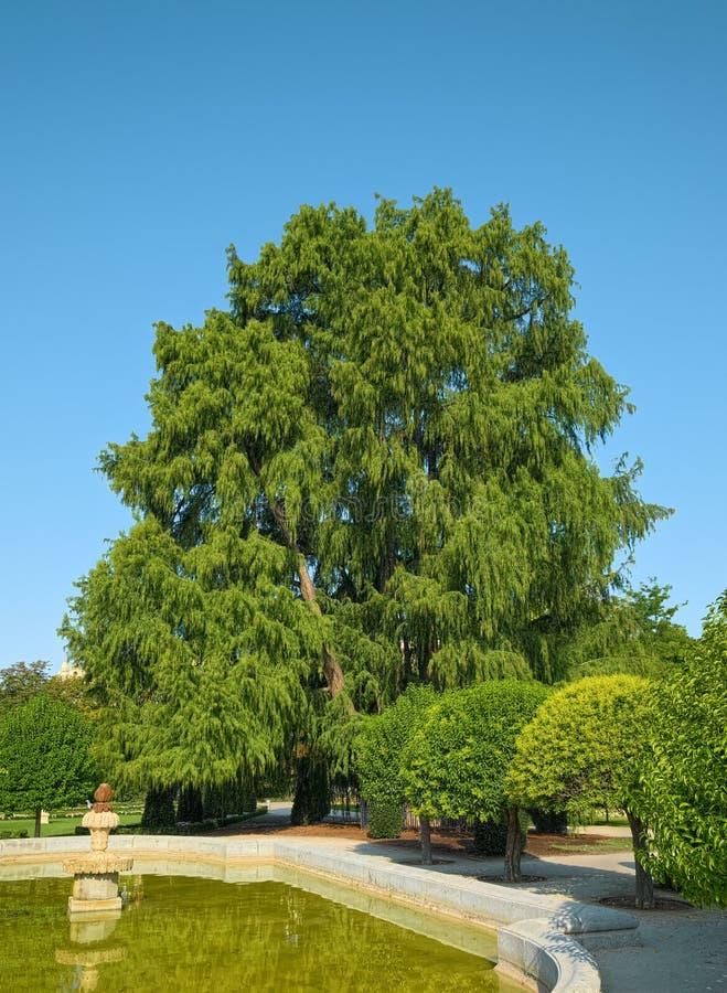 A árvore a mais velha no Madri, Espanha imagens de stock royalty free