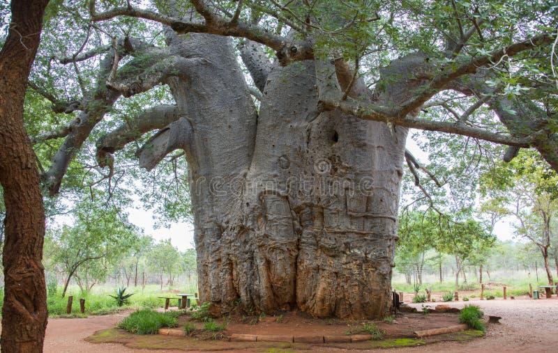 A árvore a mais velha no mundo fotos de stock