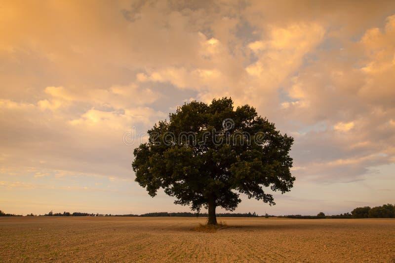 Árvore memorável no campo médio do outono fotos de stock royalty free