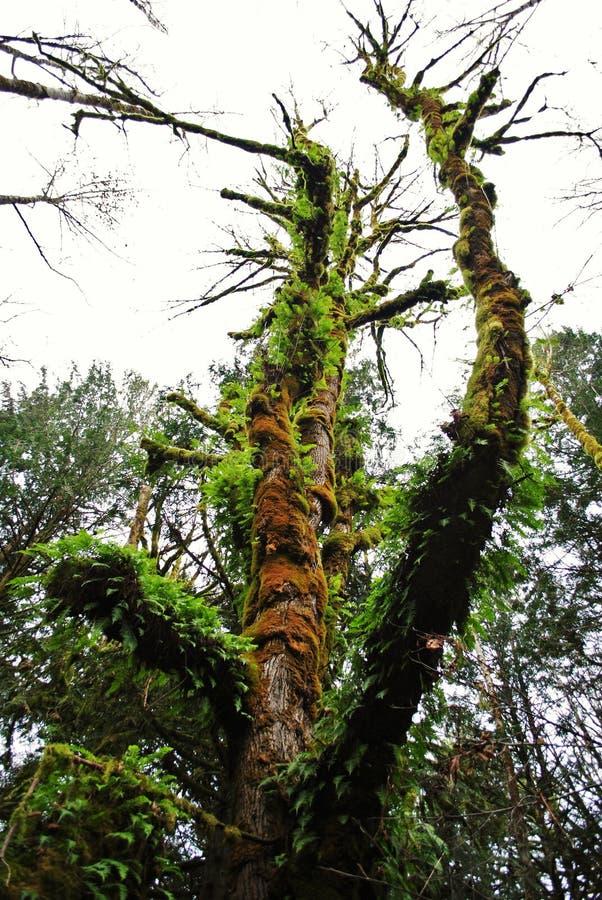 Árvore musgoso verde foto de stock