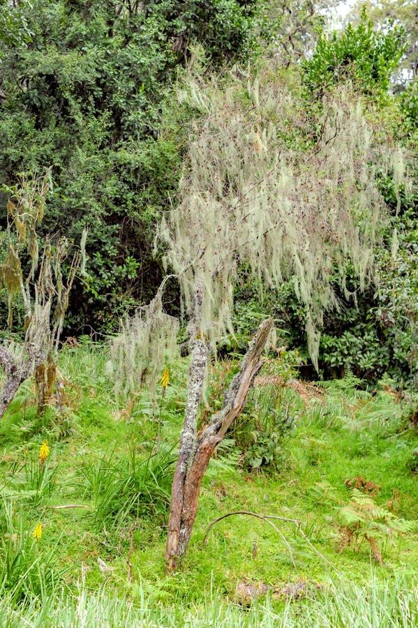 Árvore na floresta úmida da montanha, líquenes de Lichened em árvores em Tanzânia, África fotografia de stock
