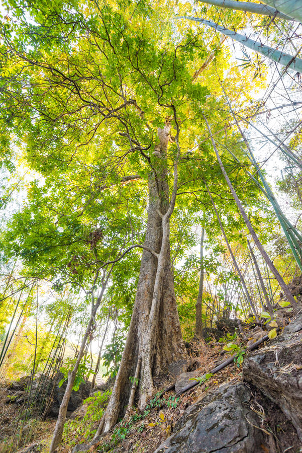 Árvore na floresta com fundo da luz solar imagens de stock