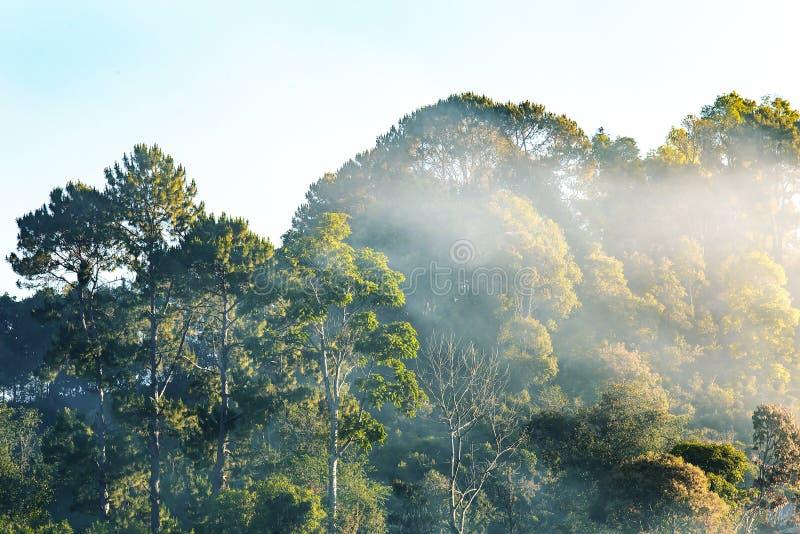 Árvore na floresta com névoa ou nevoento grande ao olhar acima imagem de stock royalty free