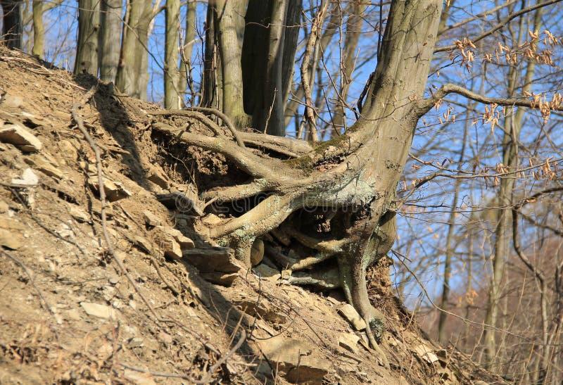 Árvore na inclinação imagens de stock