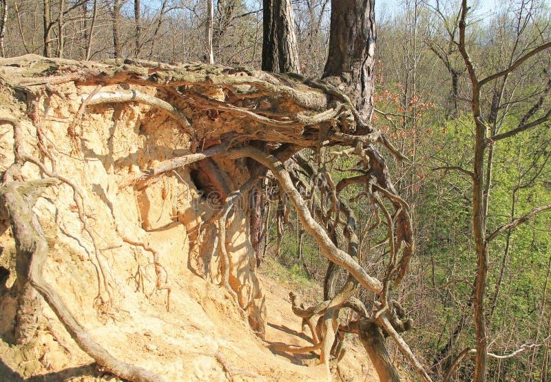 Árvore na inclinação seca foto de stock