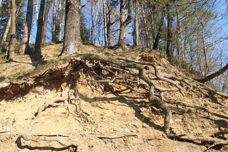 Árvore na inclinação seca fotografia de stock