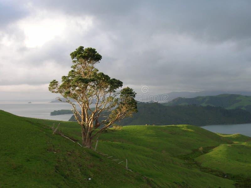 Árvore na península de Coromandel imagem de stock royalty free