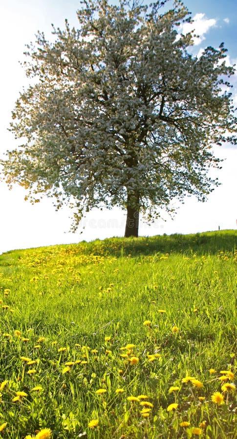 Árvore na primavera foto de stock