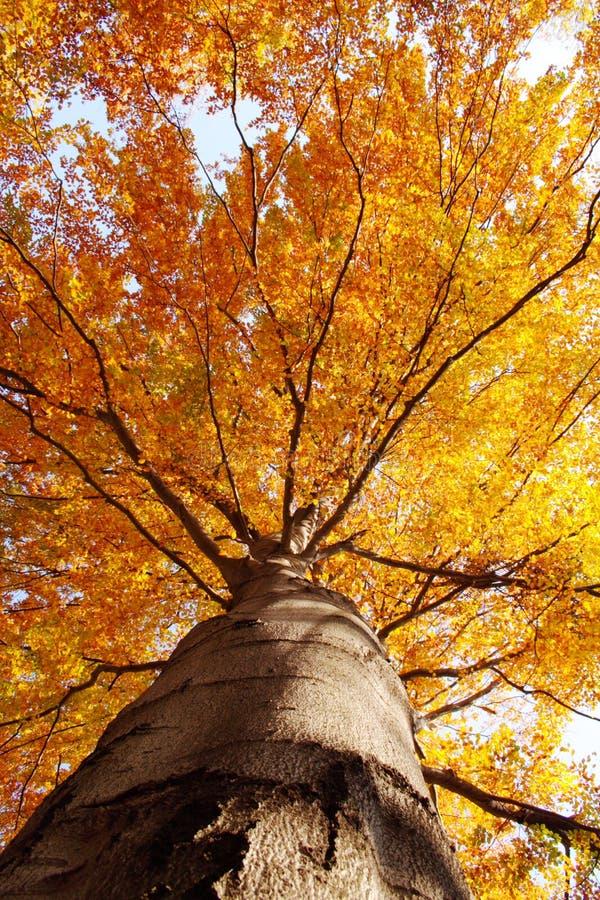 Árvore na queda de abaixo fotografia de stock