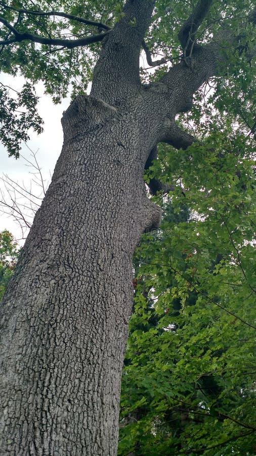 Árvore nas madeiras imagens de stock