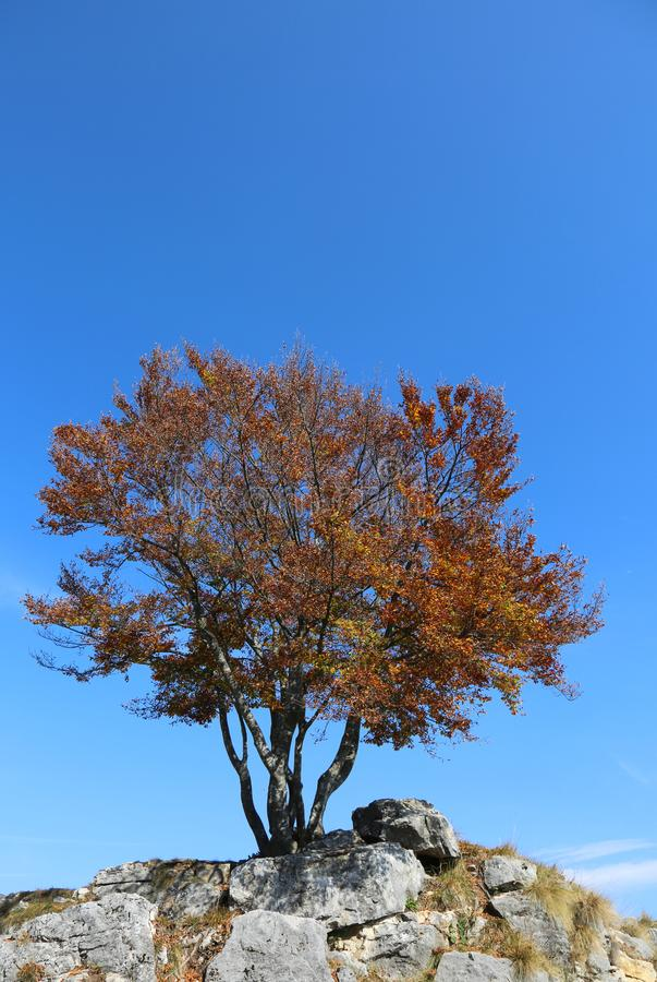 árvore nas montanhas com folhas alaranjadas fotos de stock