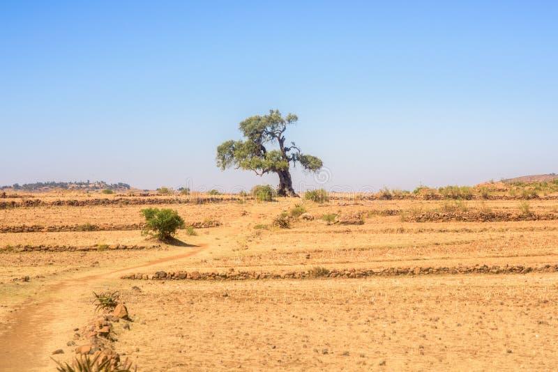 Árvore nas montanhas etíopes nortes fotografia de stock royalty free