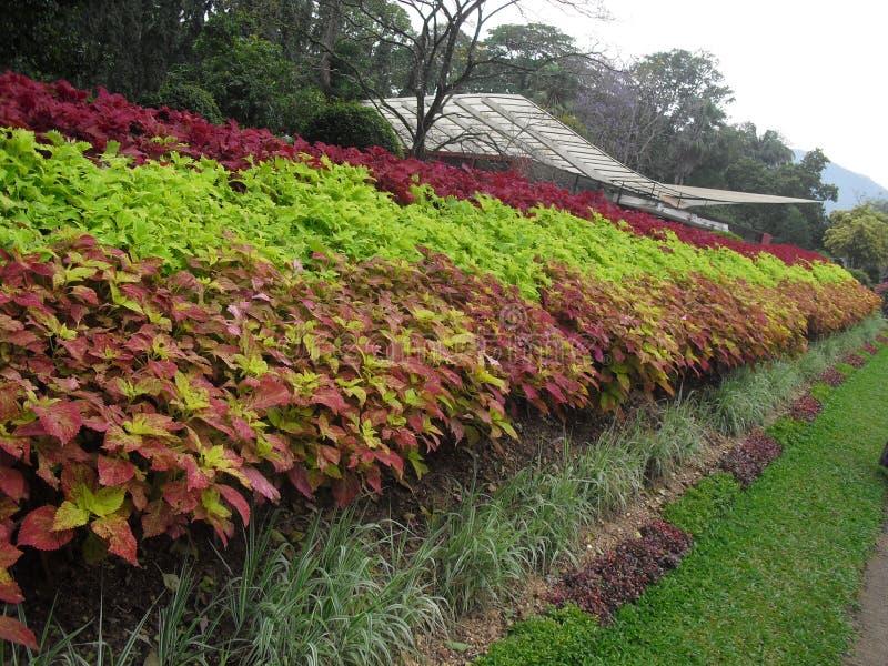 Árvore natural de Sri Lanka imagens de stock royalty free