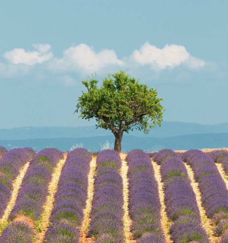Árvore no campo da alfazema, Provence, France imagem de stock