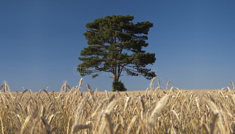Árvore no campo do centeio foto de stock