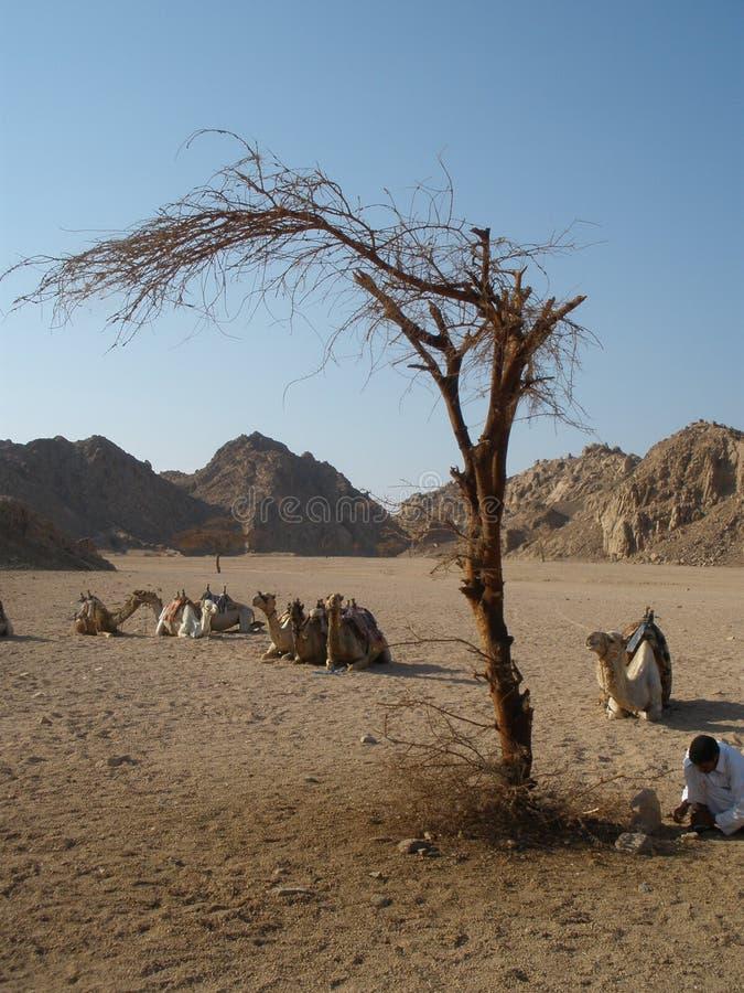 Árvore no deserto imagens de stock