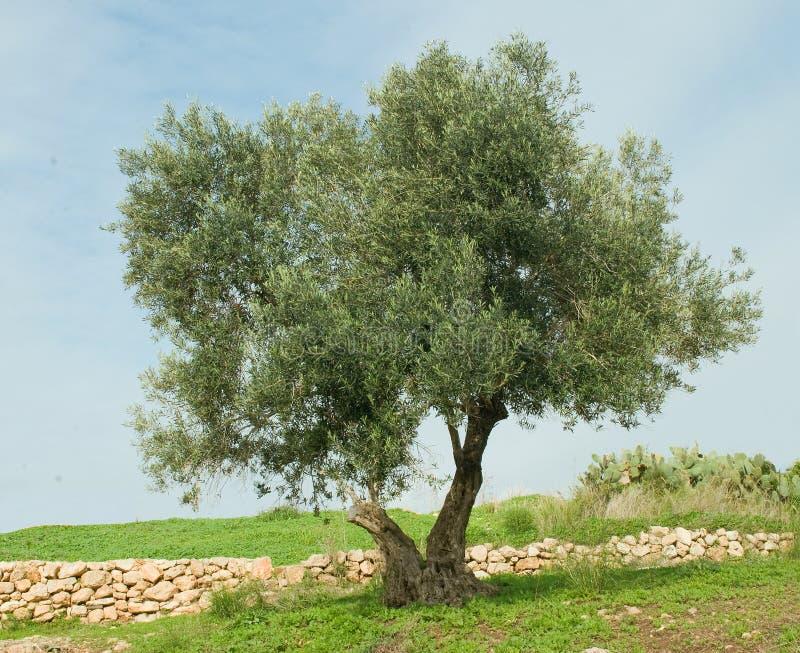 Árvore no hanadiv de Ramat imagem de stock royalty free