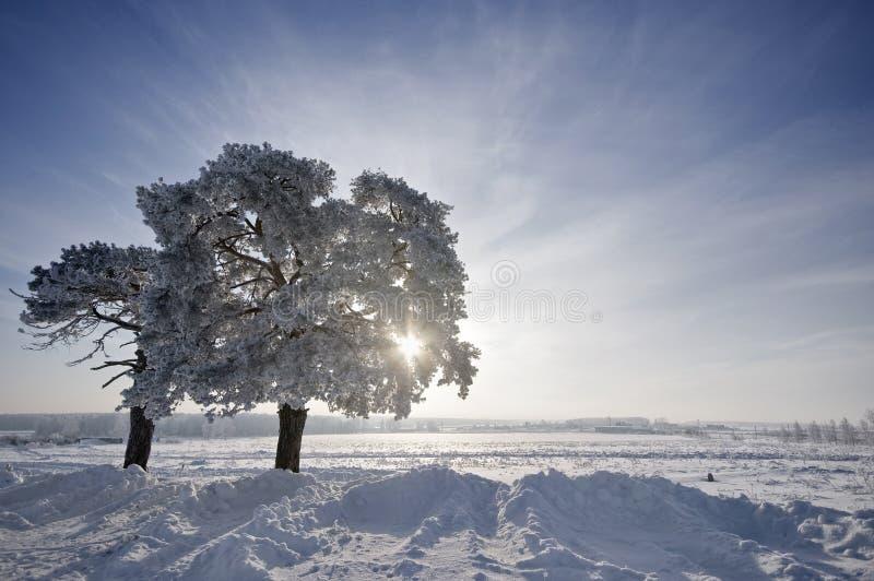 A árvore no inverno com neve cobriu campos imagem de stock royalty free