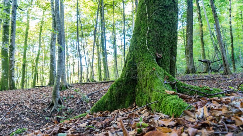 Árvore no musgo Caminhando na floresta perto de Sochi, Rússia fotos de stock royalty free