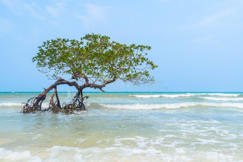 Árvore no paraíso, manguezais que penduram sobre uma praia As Caraíbas, sombreiro de Cayo, imagem de stock