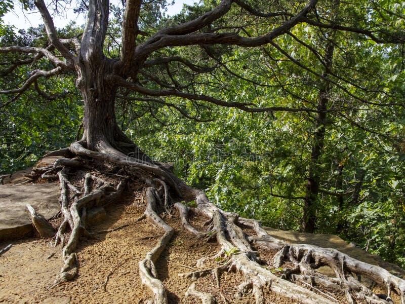 Árvore no penhasco no parque estadual esfomeado da rocha foto de stock