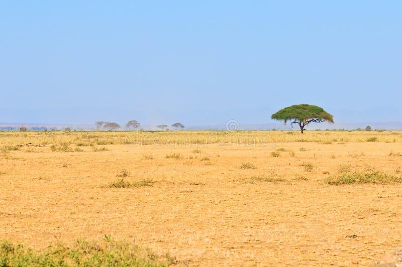 Árvore no savana, paisagem africana típica foto de stock
