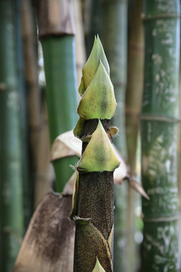 Árvore nova de bambu imagens de stock