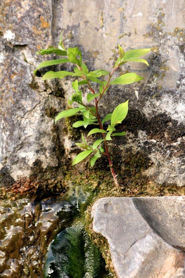 Árvore nova fresca que cresce do remendo pequeno da terra sobre a fonte de pedra velha cercada com pedra e musgo verde molhado fotos de stock