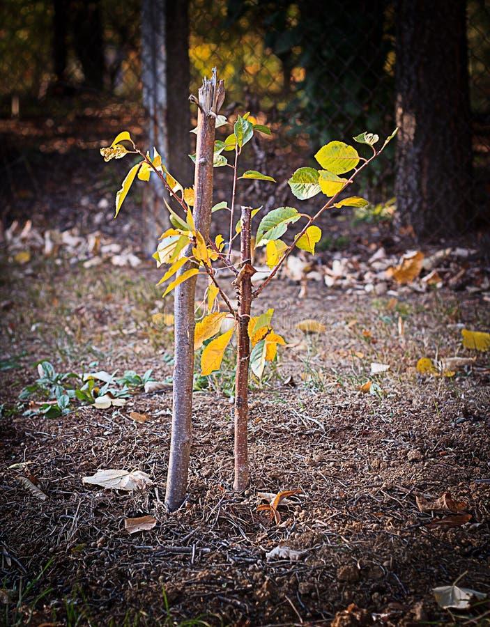 Árvore nova recentemente plantada imagem de stock