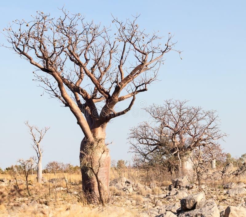 Árvore original do boab no Kimberley fotos de stock royalty free