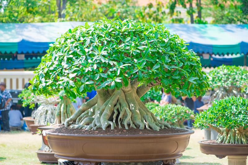 A árvore ou o deserto do Adenium aumentaram no potenciômetro de flor foto de stock royalty free