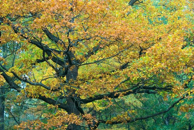 Árvore outonal imagem de stock