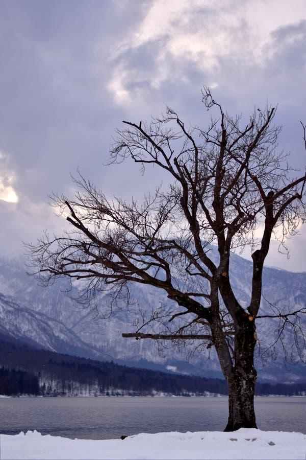 Árvore pelo lago Bohinj fotos de stock royalty free