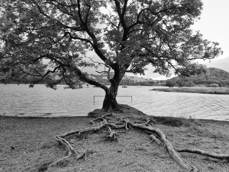 Árvore pelo lago - preto e branco imagens de stock