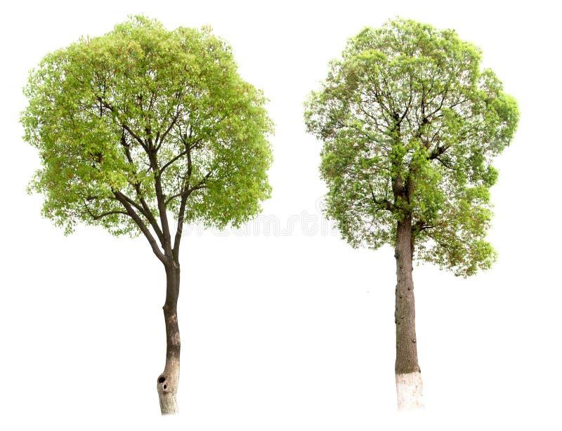 Árvore pequena (cânfora) imagem de stock