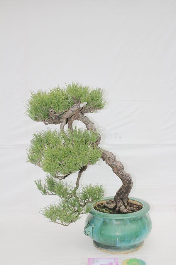 Árvore pequena do bonsia em um potenciômetro cerâmico fotos de stock royalty free
