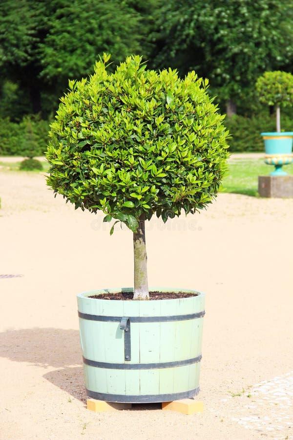 Árvore pequena do topiary no potenciômetro imagem de stock