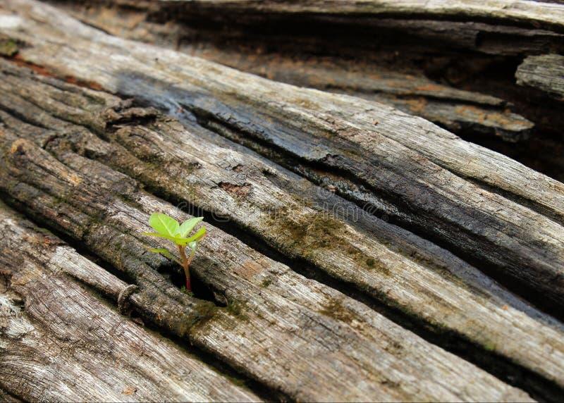 Árvore pequena nenhuma madeira velha imagem de stock