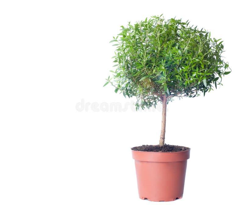 Árvore pequena que cresce no fundo branco. imagem de stock royalty free