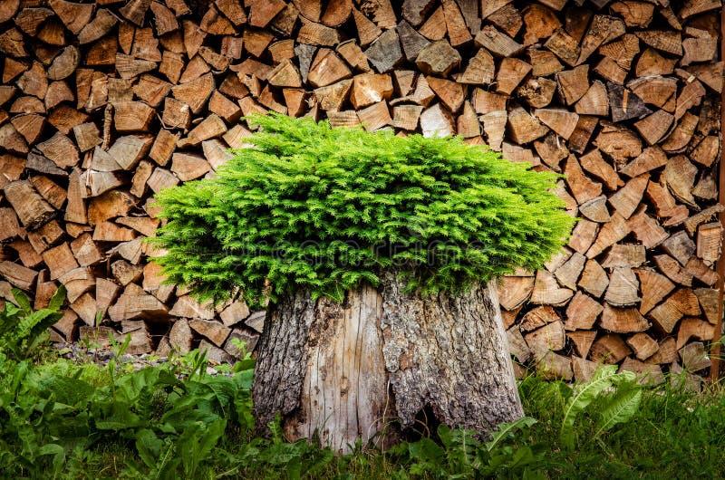 Árvore plantada em um potenciômetro do tronco com fundo da lenha fotografia de stock royalty free