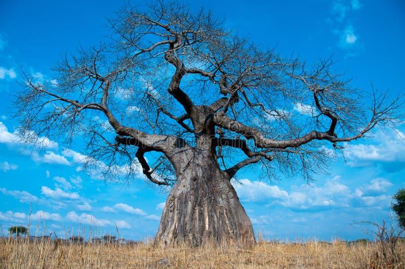 Árvore poderosa do Baobab foto de stock royalty free