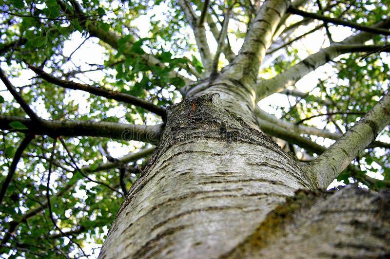 Árvore polar imagens de stock royalty free