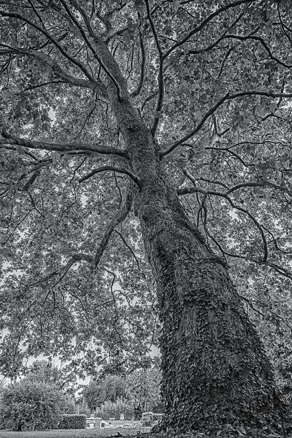 Árvore preto e branco bonita foto de stock