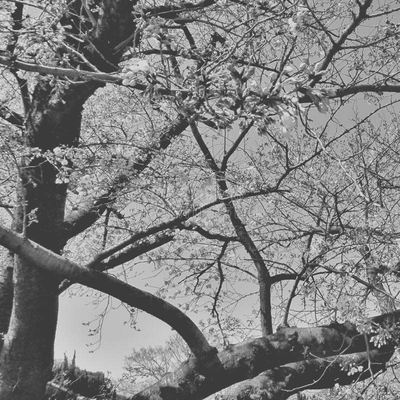 árvore preto e branco das flores dos ramos de sakura foto de stock