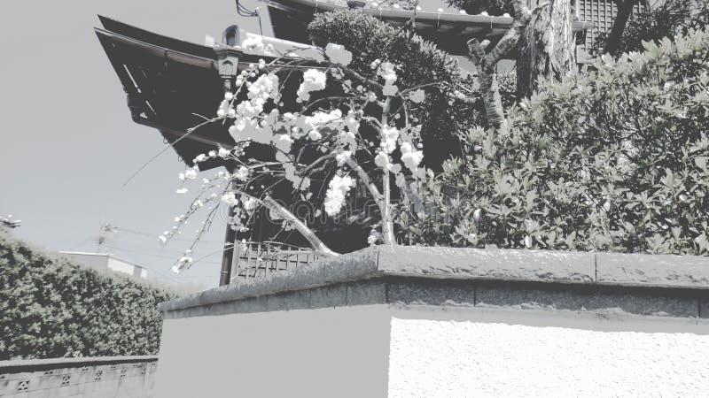 árvore preto e branco das flores dos ramos de sakura fotos de stock