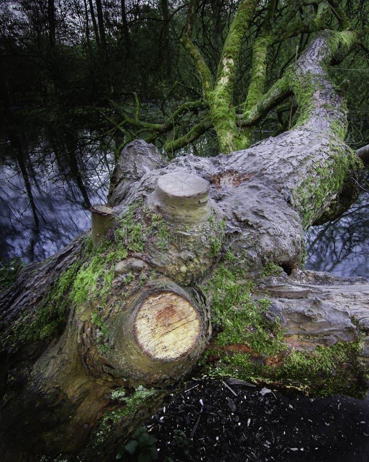 Árvore que cresce sobre lakeshore na região selvagem imagem de stock