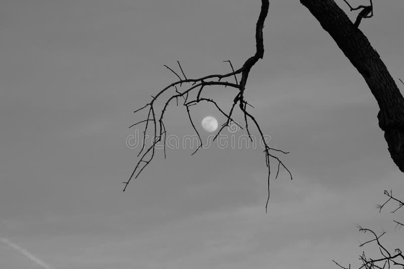 Árvore que guarda a lua fotos de stock