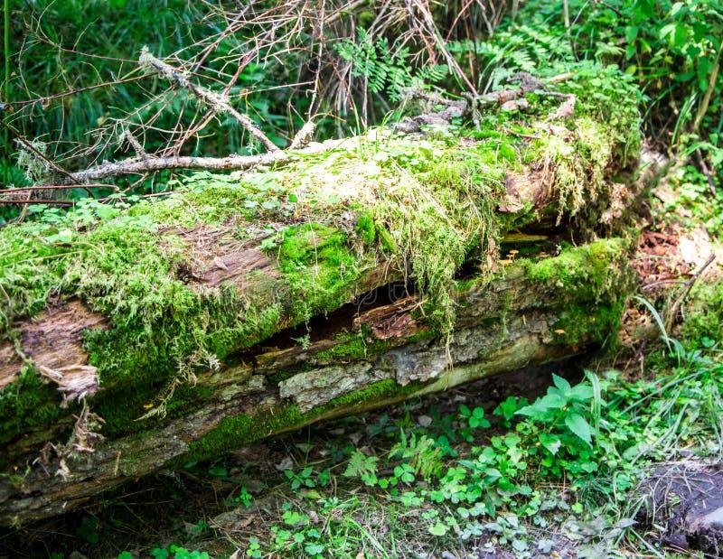 Árvore quebrada inoperante em uma floresta, em um musgo e em uma erva envolvidos fotografia de stock
