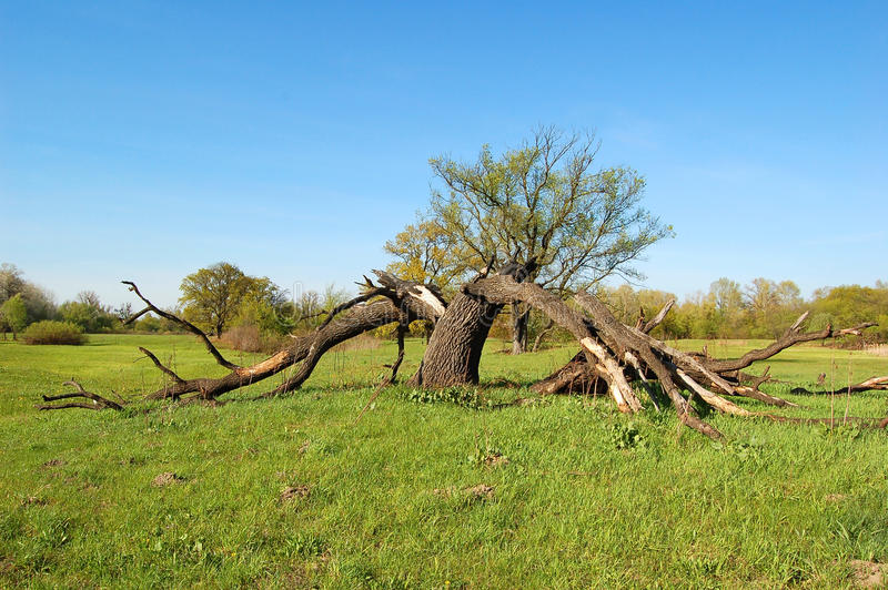 Árvore, quebrada pelo relâmpago foto de stock